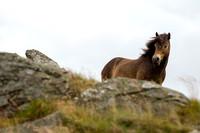 Exmoor Pony North Berwick, Scotland